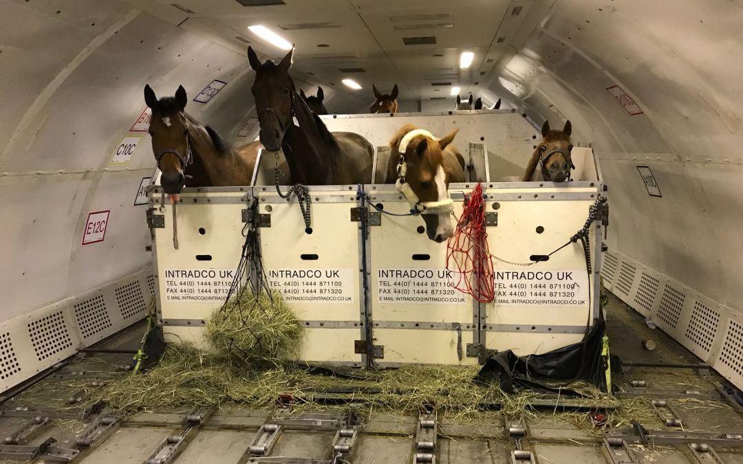 Transport van 53 paarden afkomstig uit Koeweit